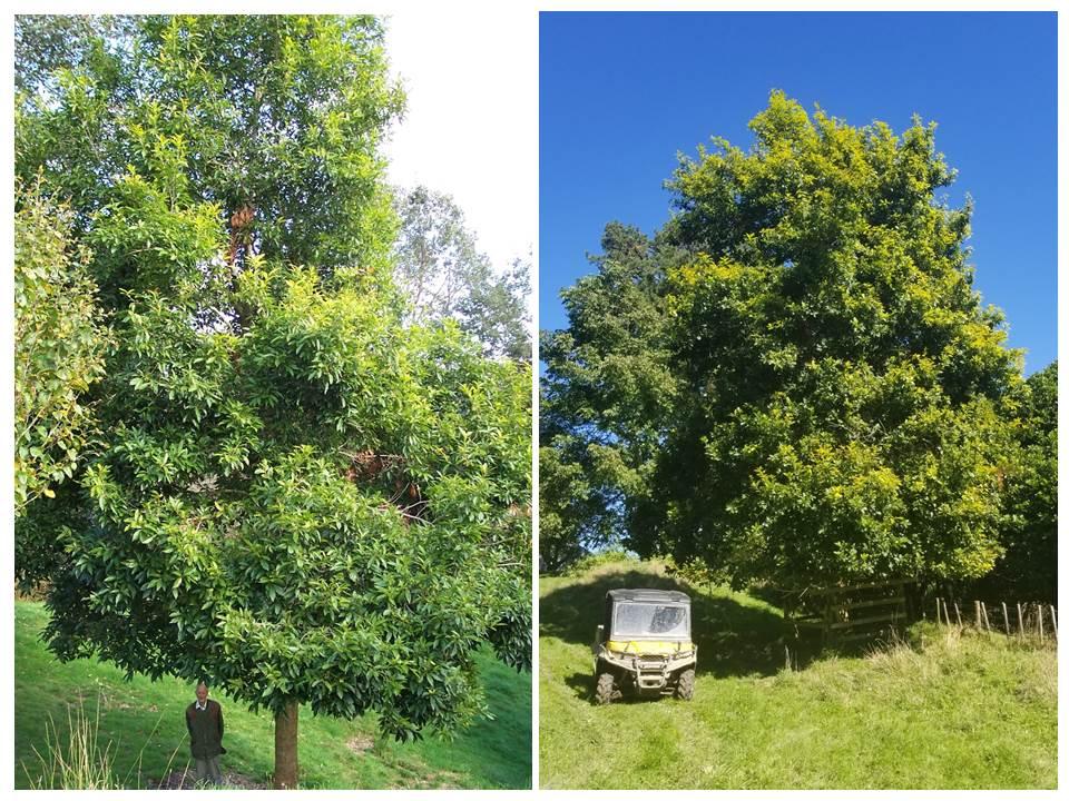 Quercus insignis at Hackfalls and Panikau